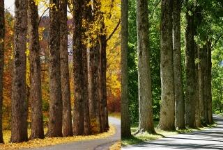 Pappelallee im Herbst und Sommer
